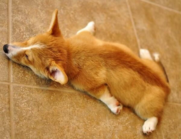 Gotta own one, one day...just so I can take a photo of the: Corgi splat