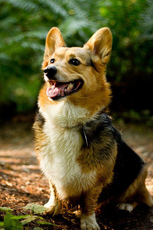 Mini Corgi Puppies For Sale >> looks like a mini German Shepard!! | Corgis - They deserve their own board! | Corgi, Dogs, Corgi ...