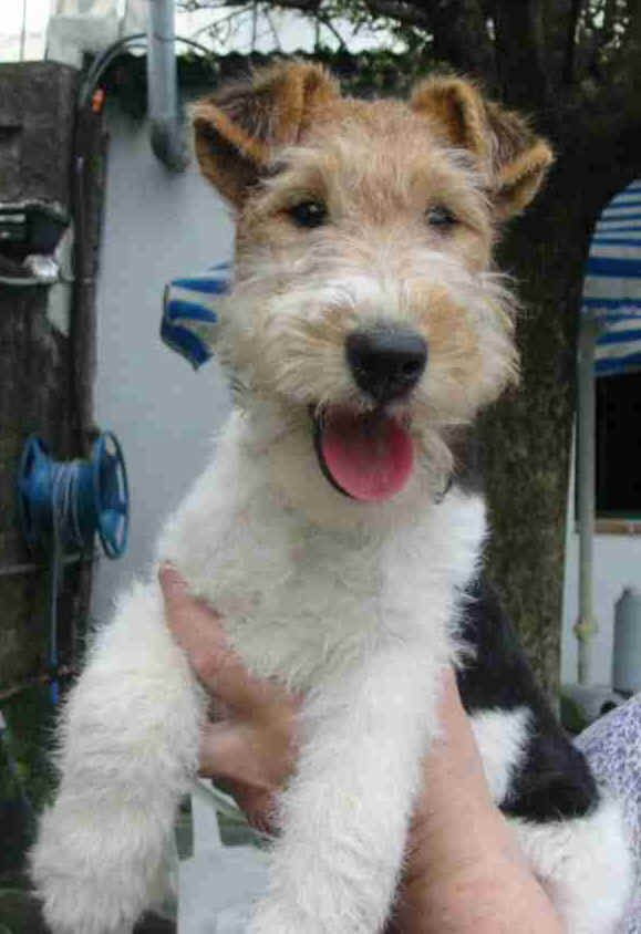 fox terrier - I just love those scruffy faces