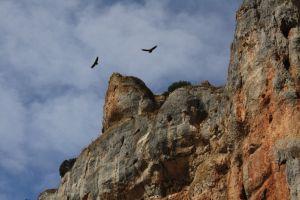 Buitres leonados que habitan en el cañón del Río Lobos, hay hasta un centenar de parejas.