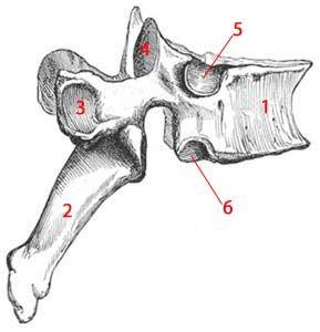 Médecine des Arts - Vertèbre dorsale ou thoracique. Anatomie artistique. Leçon 26