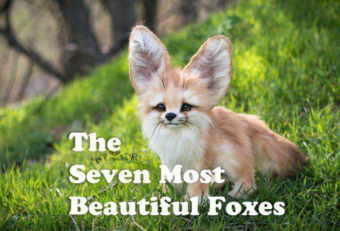 Die schönsten Füchse   – ANIMALS