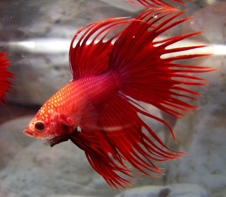 73 best images about betta crown tail on pinterest for Black betta fish for sale