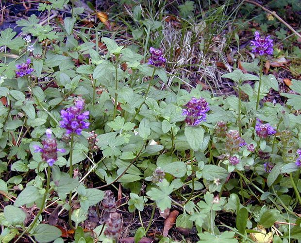 Self Heal (Prunella Vulgaris) in British Columbia * Leaves are edible raw. *  Leaves are suitable as a potherb. *  Leaves have a slightly bitter taste. *  Leaves taste best when cooked. * Grows in lawns, fields and beside roads.