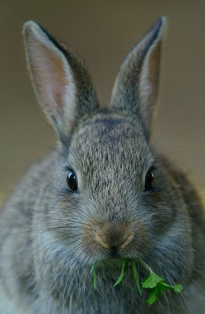 Bailey Oxford Grey, our first kitchen rabbit, loved cilantro like Life Itself.  He embraced every sensation.  Bunny kisses with cilantro breath are among the best of the memories.
