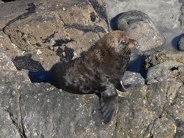 Seal at Tauranga Bay