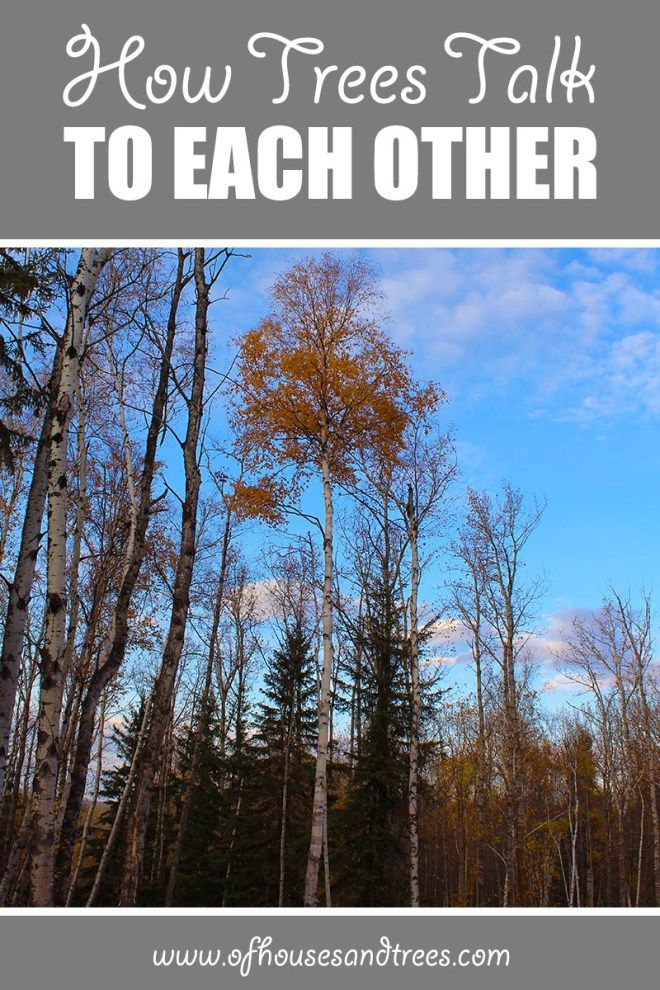 How Trees Talk To Each Other   We all know trees are living organisms, but did you know they can talk? Learn how trees talk to each other and how you can help them continue to do so.