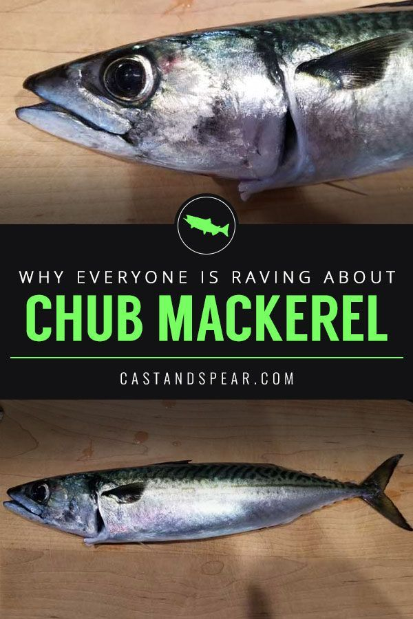 Chub Mackerel Is Generally Considered A Trash Fish Or A Bit Fish But They Are Actually Good To Eat They Are Low Berkley Fishing Deep Sea Fishing Sea Fishing