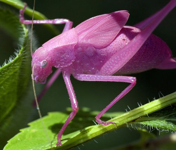 A pink katydid is seen in this photograph by Carol Freeman. Its unusual colour is the result of a genetic mutation known as erythrism, similar to the recessive gene that afflicts albino animals