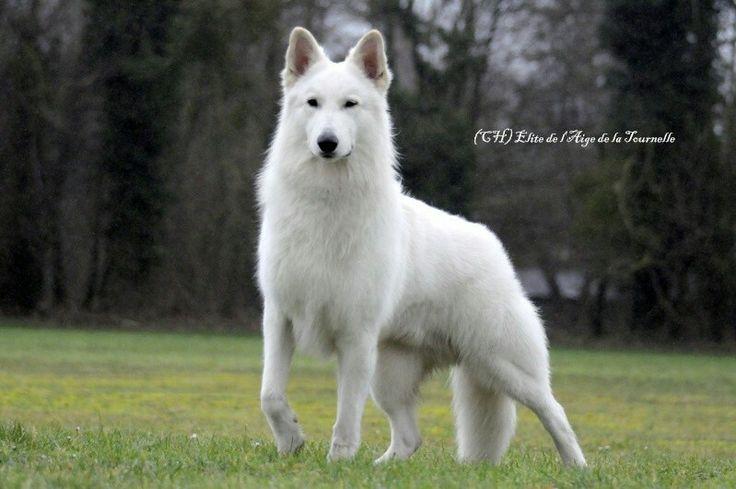 White Swiss shepherd.So beautiful