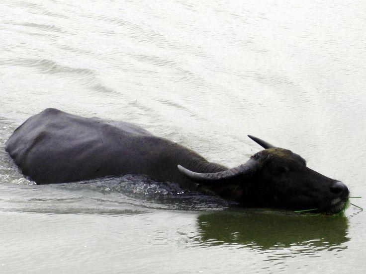 swimming buffalo, Nong Kiau