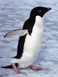 adelie penguin - Google Search