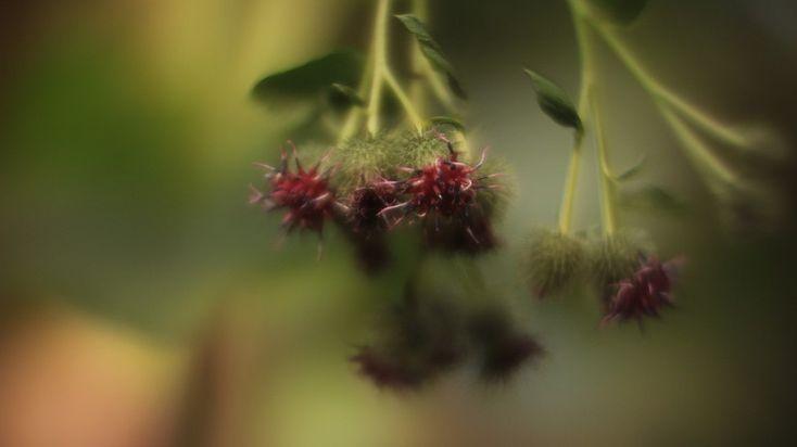 Цветок , на клумбе - дикий  колючий репейник !. Пример тестовой фотографии, сделанной объективом Rayxar DE Oude Delft 50 mm f/ 0.75 и фотоаппаратом Canon EOS-M
