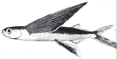 17 best images about flying fish catalina on pinterest for Flying fish drawing