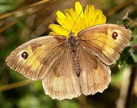 Soorten vlinders in de tuin met foto en beschrijving vlinder planten kiezen / bruin zandoogje