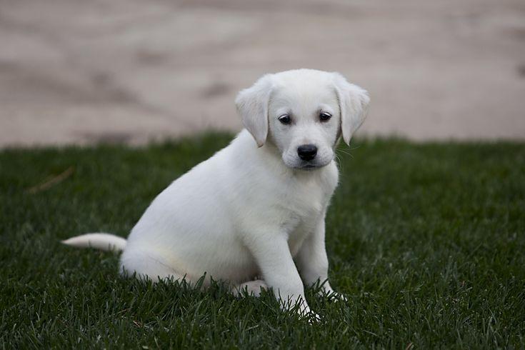 White golden retriever puppies new england