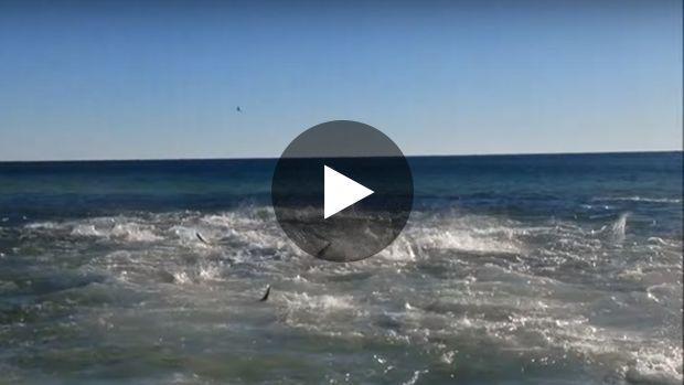 Les plagistes de Panama City ont eu la surprise de voir débarquer un groupe de requins en furie au plus près du bord