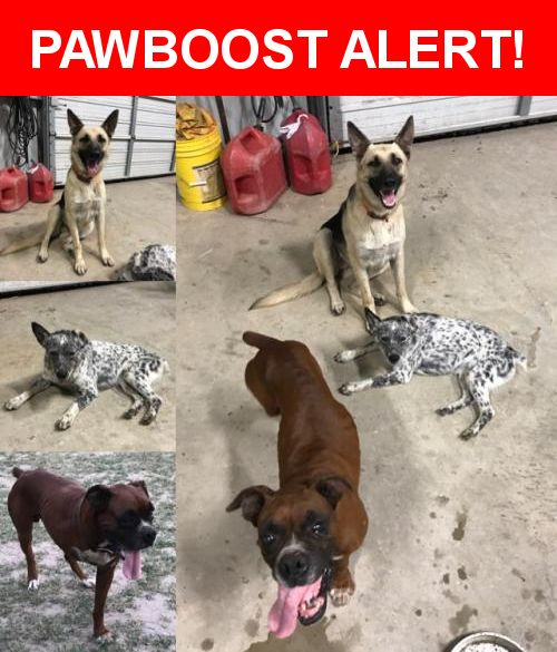 Is this your lost pet? Found in Three Rivers, TX 78071. Please spread the word so we can find the owner!  Female German Shepherd wearing an orange collar. Female Heeler with no collar and a docked tail. Male Boxer that only has three legs, very worn down front teeth, and is wearing a brown leather collar.  FM 623, Three Rivers, TX