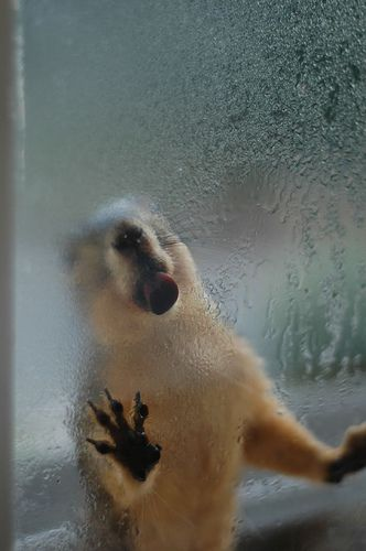 Oh just toooo cute for words...window licking squirrel.   Lol
