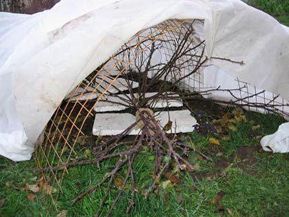 Плетистые розы практически не обрезаются. Ветви осторожно связываются и пригибаются к почве. Закрепить их можно деревянными брусьями или гибкой проволокой. Под стебли можно положить хвою или агротекстиль. Сверху розы укрываются утепляющей тканью и присыпаются землей.