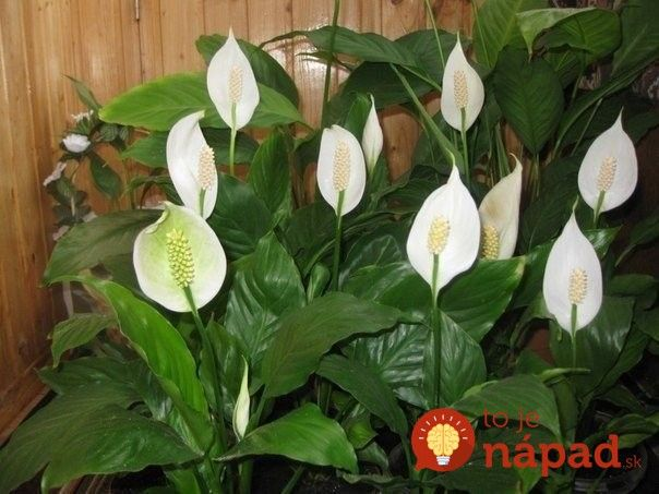 Túto rastlinu by vraj mala maž v dome každý žena: Nerobte túto častú chybu a vydrží vám krásna celé roky!
