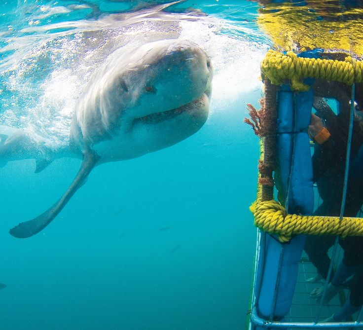 This is what Shark Cage Diving is all about...http://www.sharkcagedive.com/