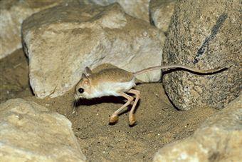 Desert ANIMALS | Gobi Desert Animals Kangaroo rat