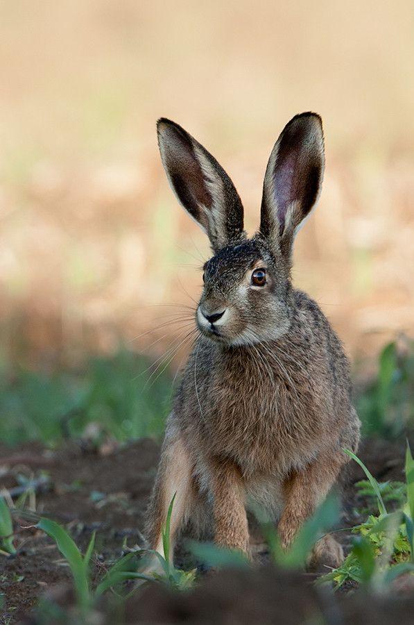Hare. #gazing through nature's door