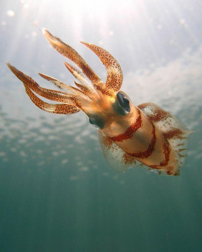 Southern calamari squid  Photo by Jason Caruso
