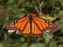Male Monarch butterfly (Danaus plexippus), Nymphalidae - Wikipedia, the free encyclopedia