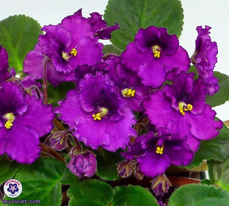 Repost optimara.violets Rhapsodie series, Patricia. Slightly traditional, two-tone purple blooms with frills.   #optimara #optimaraviolets #myviolet #prettyflowers #mothersdaygift #flowersformom #patricia #violet #africanviolet #saintpaulia #magenta #purple #bloom #houseplants #flowerstagram #plantstagram #purpleflowers #frill #frills #traditional #indoorplants #indoorplant