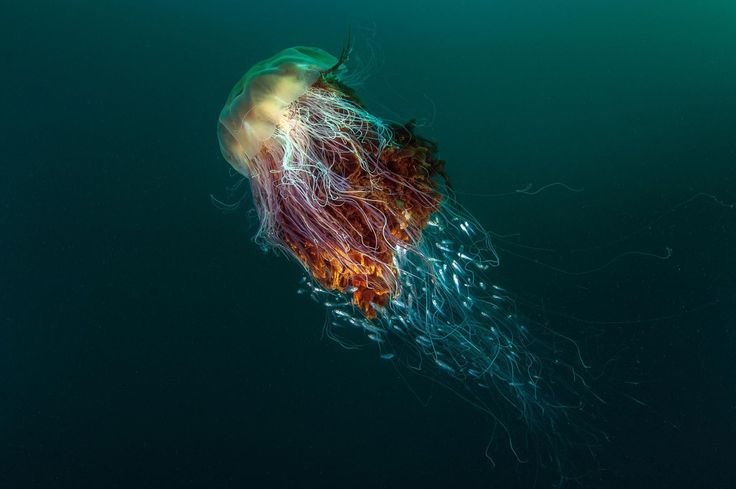 A Lion's Mane Jellyfish, St Kilda, Off The Island Of Hirta, Scotland.
