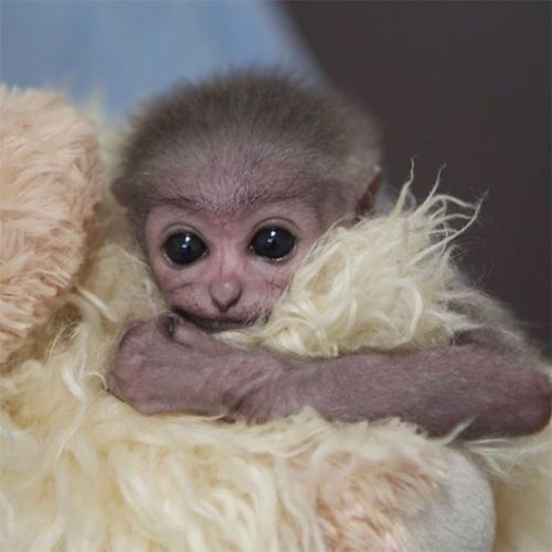 These Baby Zoo Animals Will Make Your Heart Explode With Joy. Rare Javan Gibbon Baby.