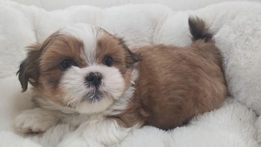 Shih Tzu puppy for sale in LA MIRADA, CA. ADN-67424 on PuppyFinder.com Gender: Male. Age: 7 Weeks Old