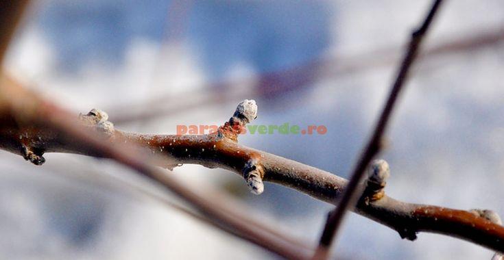 Cum recunoaştem mugurii de rod la măr | Paradis Verde