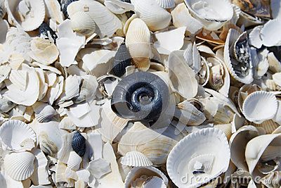 A lot of white sea shells scattered on ground, some of them crushed and one black sea snail shell in the middle.