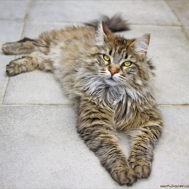 ...Maine coon.