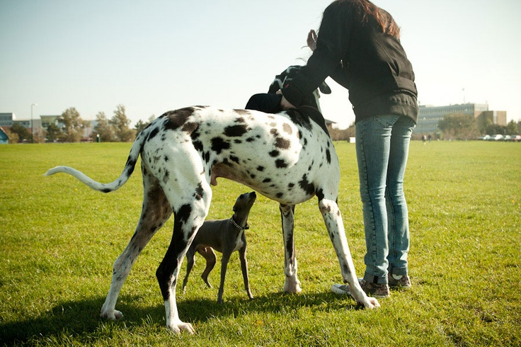 HelloooGreat Danes, Sighthounds, I Will, Photos Shared, Italian Greyhounds, The Roller Coasters