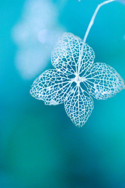 ...: Nature, Macro Photography, Blue, Leaf Skeleton, Aqua Turquoise, Hydrangea Skeleton, Color Turquoise, Flower