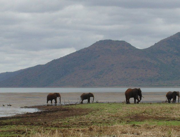 A family of elephants wandering around the water's edge of Lake Jozini in South Africa.