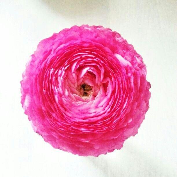 Ranunculus from own garden.  Ranonkel uit eigen tuin.