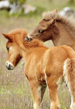 Mustang Foals Getting to Know Each Other.