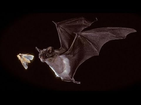 Excellent bat video!!!!! Bats in our Midst - KQED QUEST