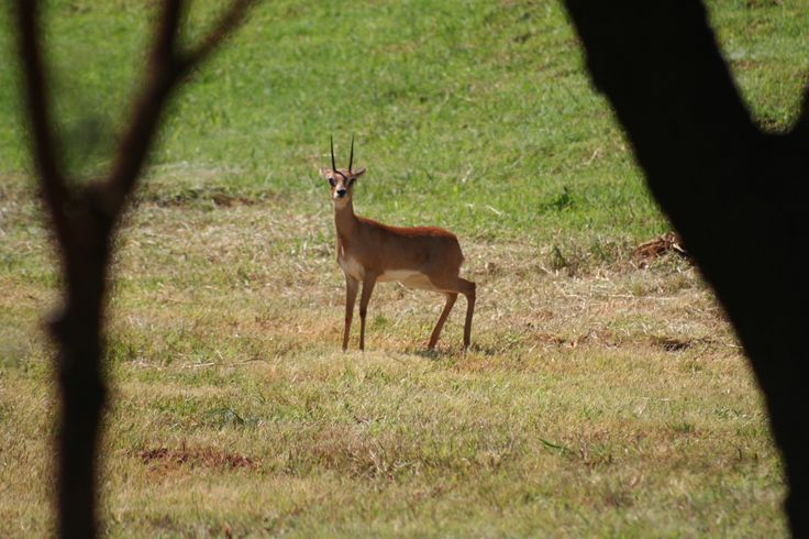 A Steenbok spotted in one of the many open areas on the estate. For more information visit www.midrand-estates.co.za