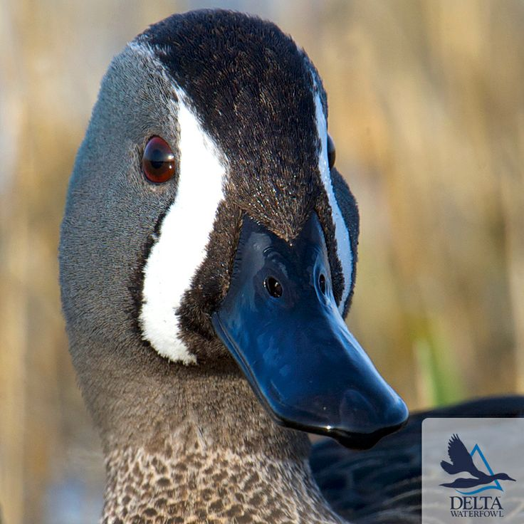 Delta Duck Of The Day Blue Winged Teal In Full Plumage