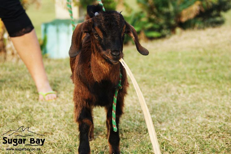 Sugar Bay's Billy Goat