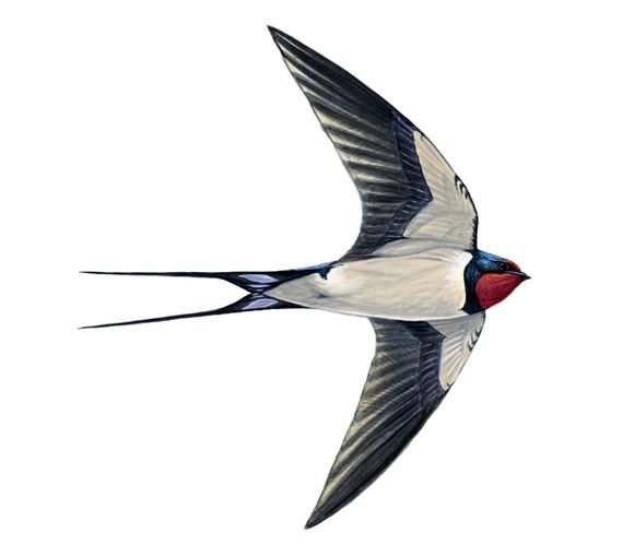 Swallow - Our apartment Rondine is named after this lovely bird. They swoop over the swimming pool at Villa Miramonti, Le Marche all summer long!