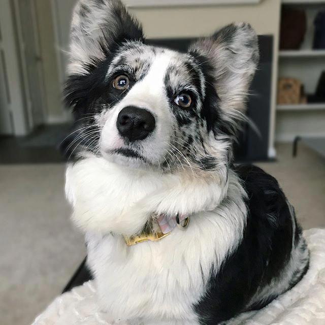 More About The Aussie Pups Temperament Australianshepherdclub