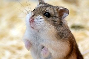 Did you know? Hamsters are biologically programmed to sleep during the day. Find out this and more by clickin this pin!