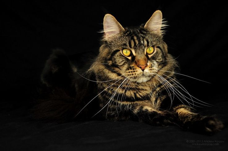 Maine Coon, Black Tabby Blotched (n 22). Odin Perfect Cat*UA